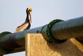pelican sitting on bayou bridge pipeline