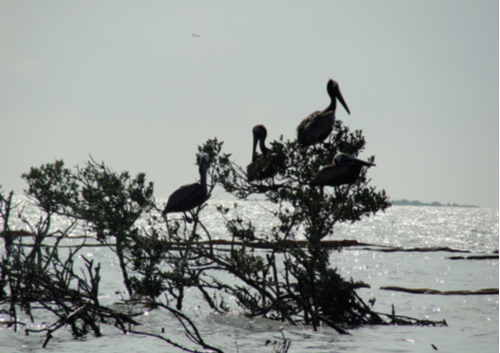 Deepwater Horizon oil spill pelicans avoiding oil